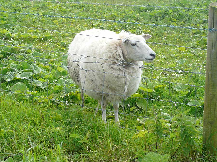 sheepsm